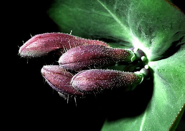 Lonitzer adam lonicerus adamus for Pirus pianta