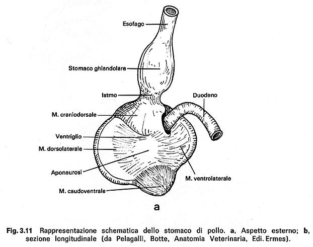 gemma alettoria alectoria alectorius lapis - ventricolo / ventriglio ...