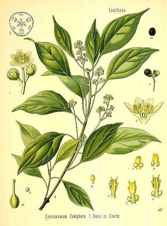Canfora, pianta