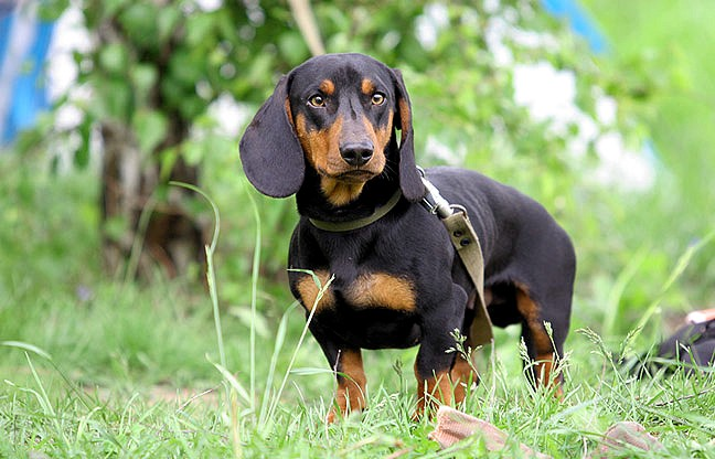 Cane bassotto dachshund for Bassotto cane