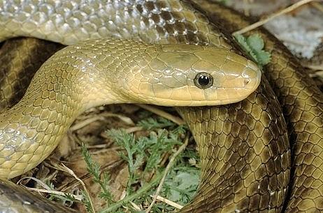 Colubro di esculapio elaphe longissima for Serpente cervone