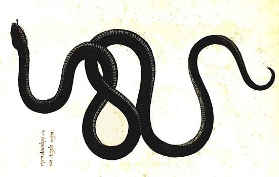 Colubro di esculapio elaphe longissima for Serpente nero italiano