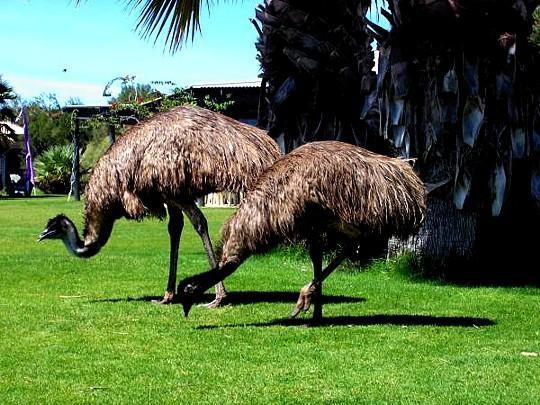 c879969f92 Emù deriva da una voce australiana giunta a noi nel 1605 tramite il  francese émeu. Secondo solo allo struzzo in dimensioni, arrivando a 1,9  metri di altezza ...