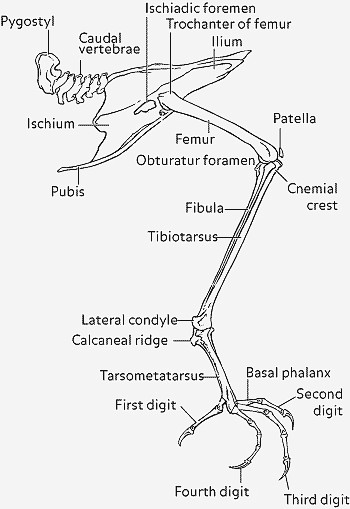 gallina bassotta bolognese del senatore fulvio antonio