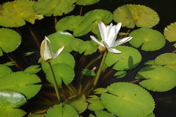 Ha Fiori Bianchi O Rosei.Loto Bianco D Egitto Nymphaea Lotus Fior Di Loto Nelumbo Nucifera