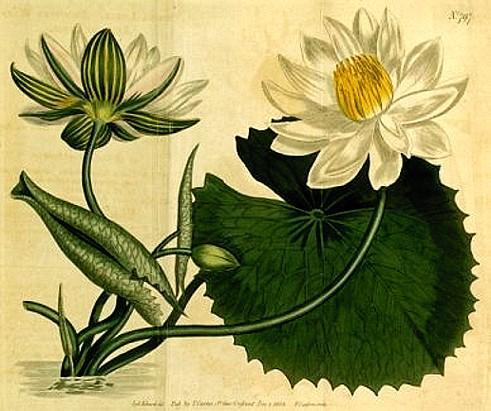 Loto Bianco D Egitto Nymphaea Lotus Fior Di Loto Nelumbo