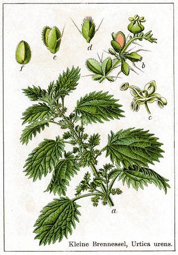 Risultati immagini per ortica tavola botanica