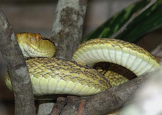 Okinawa Habu, Habu Snakes, Japanese Snakes