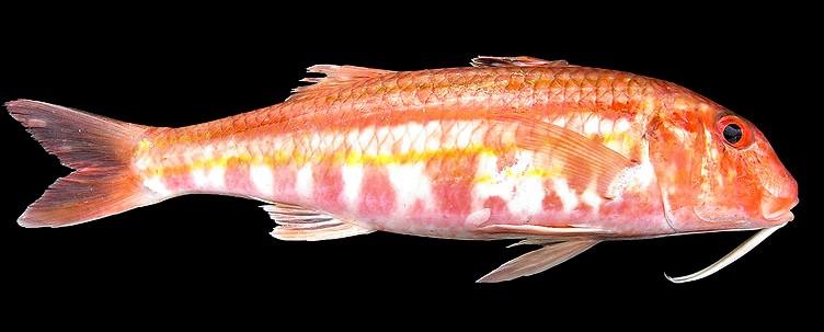 Triglia mullus surmuletus mullus barbatus for Red mullet fish
